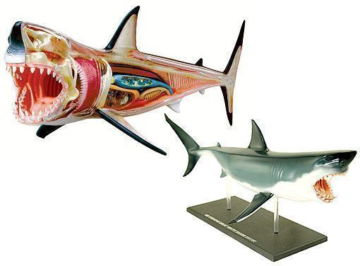 3-d-shark-anatomy-model