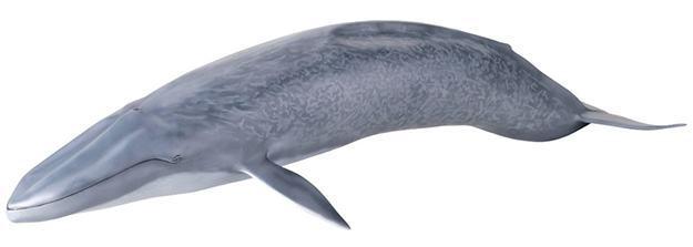 Baleia-Azul-Blue-Whale-Mega-Sofubi-Advance-06